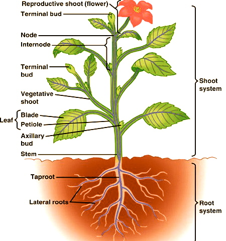Plant Root Diagram For Kids